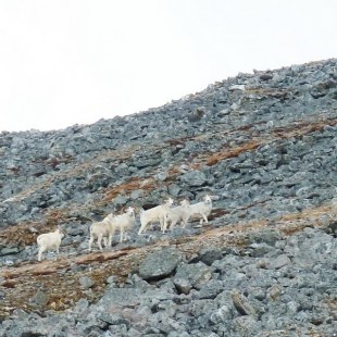 Dallsheep Hunts